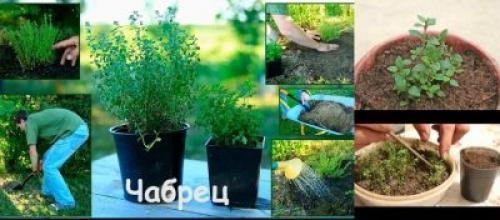 Выращивание тимьян на даче. Варианты выращивания на даче