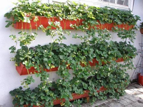 Ампельная клубника балконный поток. Как вырастить ампельную клубнику