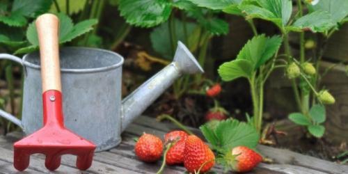 Как часто поливать клубнику в жару. Полив клубники во время цветения и плодоношения