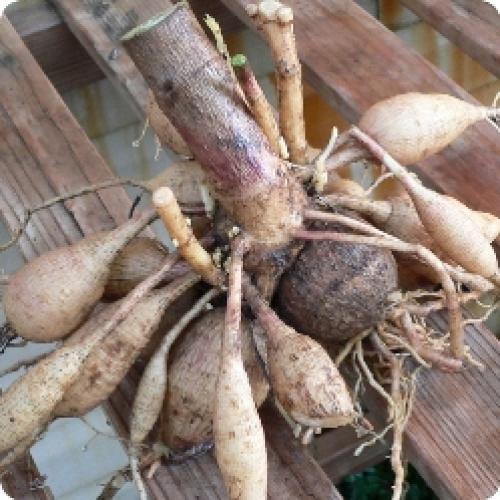 Луковицы цветов, как хранить. Как сохранить луковицы и клубни цветов, купленные зимой, до весны