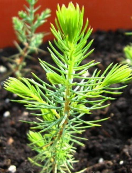 Как выращивать хвойные кусты. Выращивание рассады хвойных растений