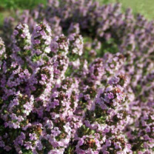 Тимьян пурпурно фиолетовый выращивание из семян. Выращивание тимьяна