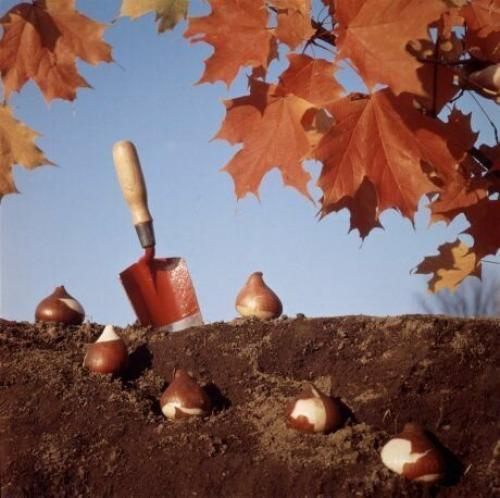 Когда пересаживать луковичные цветы. Сроки посадки луковичных для разных регионов
