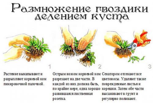 Уход за гвоздикой многолетней осенью. Выращиваем гвоздики: посадка