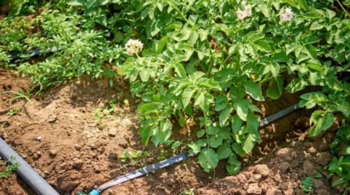 Полив картофеля в открытом грунте. Все о поливе картофеля