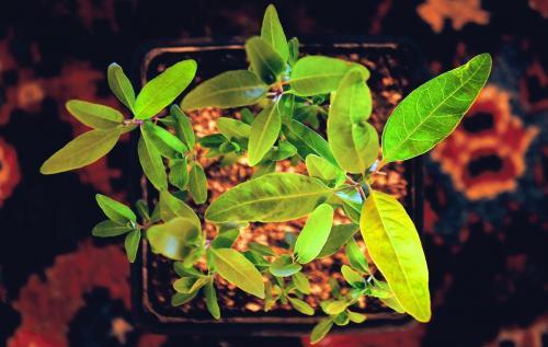 Эвкалипт лимонный из семян выращивание. Виды и сорта комнатного эвкалипта