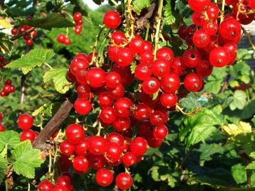 Обрезка красной смородины летом. Как правильно обрезать красную смородину для хорошего урожая на следующий год