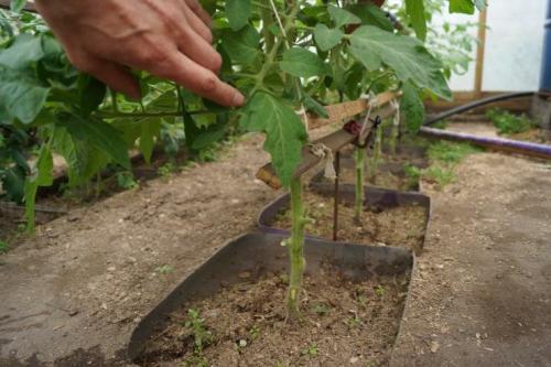Выращивание томатов в теплице от а до я. Посадка и уход за высокорослыми томатами в теплице