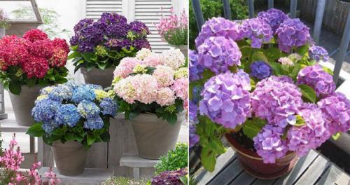 Как выращивать гортензию на даче. Гортензия крупнолистная (садовая) – описание