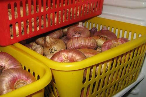 Как хранить луковицы гладиолусов. Особенности хранения луковиц гладиолусов