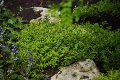 Как посадить тимьян на даче. Способы выращивания на даче