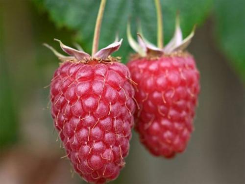 Малина крупноплодная Гусар. Урожайность и описание ягод