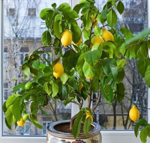Как ухаживать за лимоном в домашних условиях, чтобы он плодоносил. Домашний лимон: уход в домашних условиях и фото