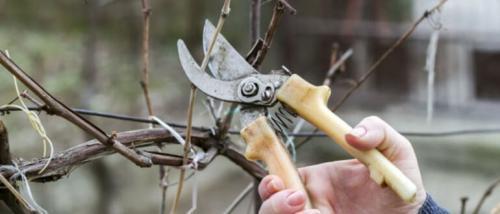 Обрізка винограду в жовтні. Как правильно обрезать виноград осенью, схемы, сроки, картинки и инструкции для начинающих