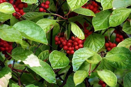 Как посадить лимонник китайский на даче. Описание растения