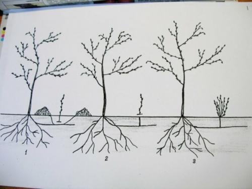 Поросль вишни будет ли плодоносить. Поросль