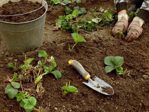 Клубника посадка и уход в открытом грунте подкормка. Когда нужно подкармливать клубнику?
