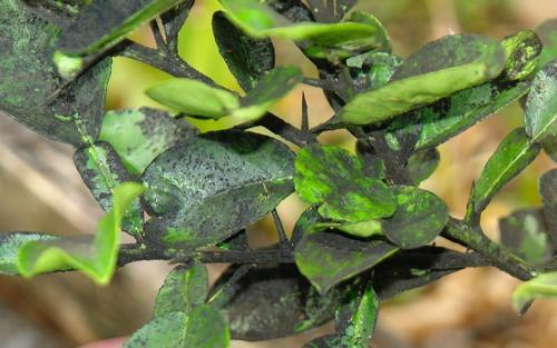 Вредители и болезни сливы. Болезни листьев сливы