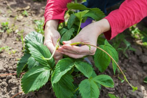 Нужно ли срезать клубнику после плодоношения. Обрезка клубники