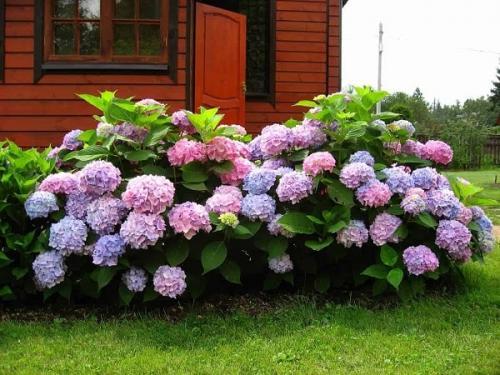 Как правильно выращивать гортензию в саду. Посадка гортензии для пышного цветения