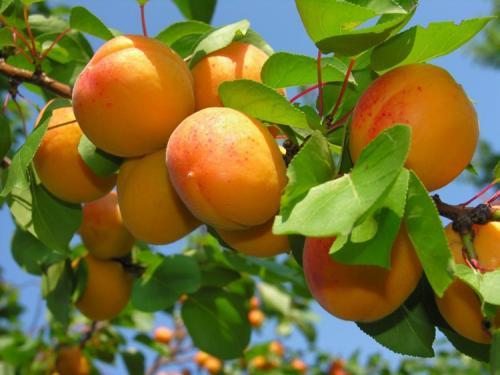 Как сажать абрикос. Выращивание абрикоса: все правила агротехники