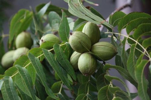 Грецкий орех выращивание и уход в Средней полосе россии. Сорта грецкого ореха для Средней полосы