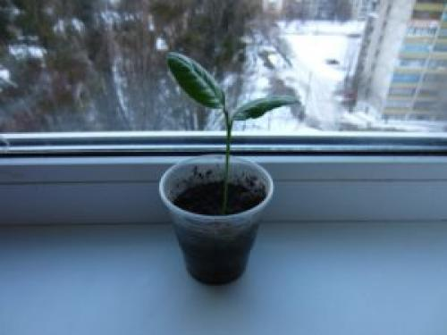 Как вырастить грейпфрут из косточки в домашних условиях. Вырастить грейпфрут из косточки в домашних условиях !