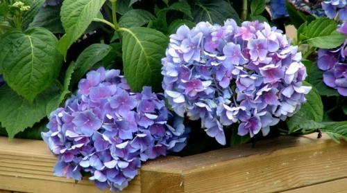 Как сажать цветы гортензия. Посадка гортензии и рекомендации по уходу