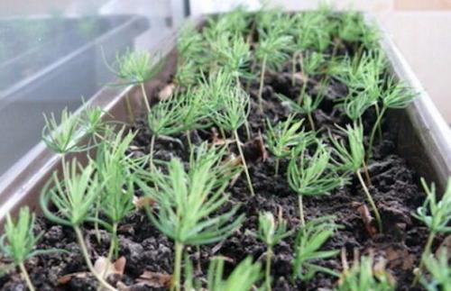 Как вырастить из семян хвойные. Как вырастить хвойные деревья из семян: скарификация