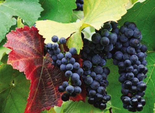 Сорта винограда по алфавиту. Самые популярные сорта винограда по алфавиту