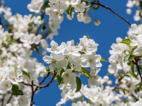 Яблоня Моди. Выращивание яблони Моди