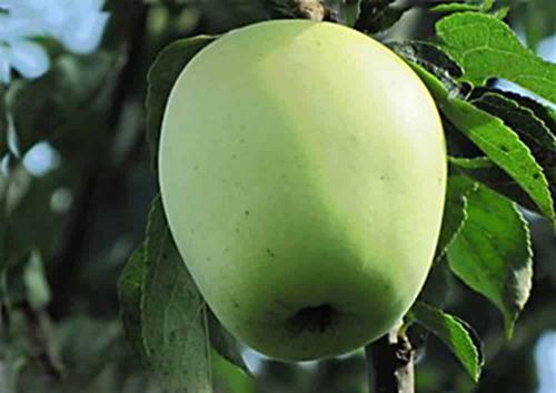 Летняя яблоня сорта аркадия. Разновидности сорта Аркад и описание