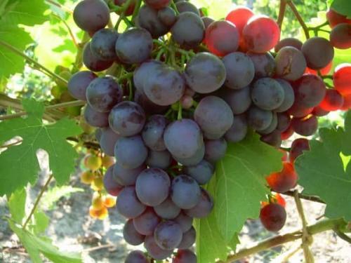 Сорта винограда по алфавиту. Список сортов винограда по алфавиту: столовые, ранние, морозостойкие, технические, без косточек, элитные, мускатные