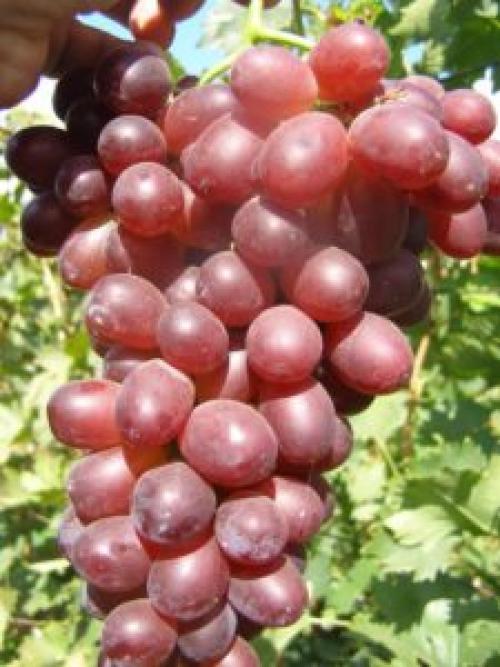 Виноград нина описание сорта. Особенности сорта