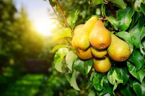 Летний сорт груш. Сорта лучших летних груш: описание и особенности выращивания