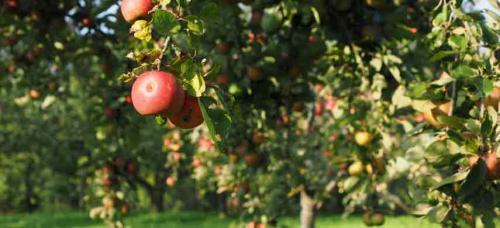 Соседство плодовых деревьев и кустарников таблица на участке. Совместимость садовых деревьев друг с другом и другими культурами