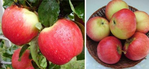 Яблони с яблоками. Сорта яблок, которые плодоносят летом