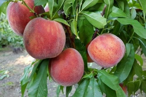 Поздние сорта персика. Самые лучшие сорта персиков с фото и описанием
